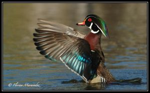 Wood Duck 9 by Ptimac
