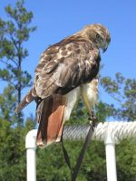 Isabeau, my hawk. by redtailhawker