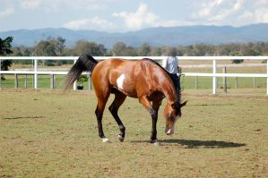 GE Arab pinto trot head down by Chunga-Stock