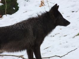 Black Wolf Head Stock by AngelSTOCK22