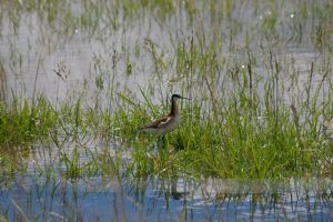 Wilson's Phalarope by Silver-she-wolf-14