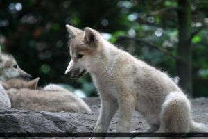 Hudson Bay Wolf 214 by Canisography
