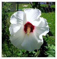 White Rose Of Sharon by PridesCrossing