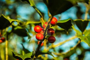 Holly Tree Berries by Bnuldun