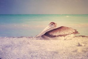 PelicanII by JunnyPhotography