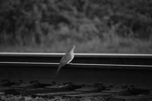 Dove on Train Rail by WhyteMyst