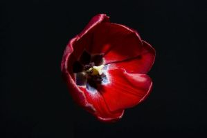 Dying Tulip by kirstylegg