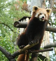 Hungry red panda by JoanneLeafs