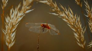 Resting Dragonfly by entp