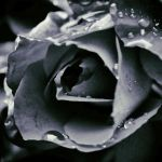 Tears of a Rose by yume-no-yukari-photo
