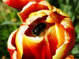 Bee And Tulip by Forestina-Fotos