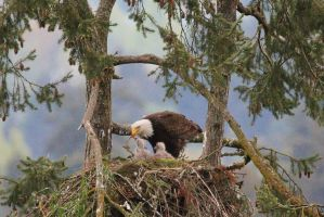 Bald Eagle with 2 chicks by finhead4ever