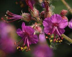 pelargonium more flowers by marob0501