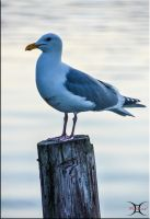 Seagull by ShannonCPhotography