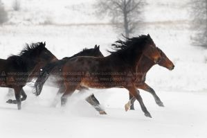Winter horses II by amisiux