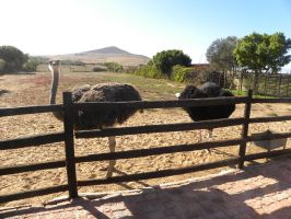 Ostriches by RiverKpocc