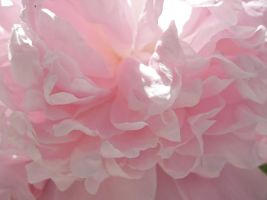 Peonies Stock 7 by Retoucher07030