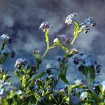 forget me not by Floriandra