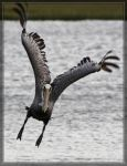 Brown Pelican 40D0027422 by Cristian-M