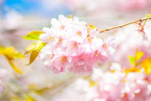 Cherry blossoms at Kungstradgarden Swe by PrincessAlbertSwe