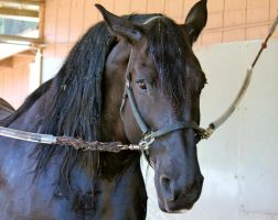 Friesian Draft Mare by ThePerfectEquestrian