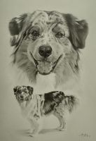 Commission - Australian Shepherd 'Marble' by Captured-In-Pencil