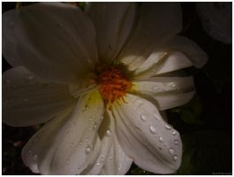 Wet White Dahlia With Shadow by beadtheweed