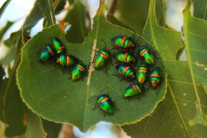 Harlequin bugs gather by wildplaces