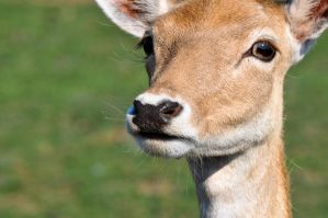 Deer Close-Up by JessicaTanton