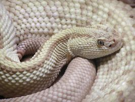 Neotropical Rattlesnake 2 Stoc by TalkStock