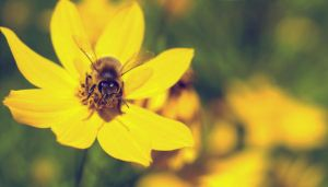 Bee on Yellow Flower by manuelo-pro