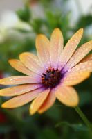 Orange Daisy drops by FrozenNature