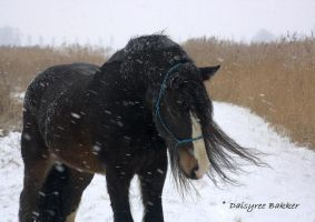 Gypsy horse in snow by DaisyreeB