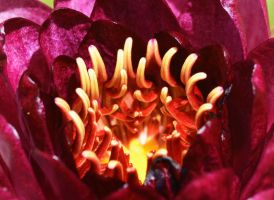 Rustic Red Waterlily by MayEbony
