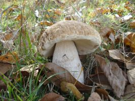 Boletus by The-Ronyn