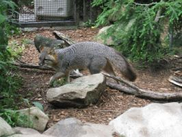 Gray Fox by Fireborn46