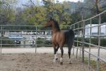 crazy warmblood 10 by Aestivall-Stock