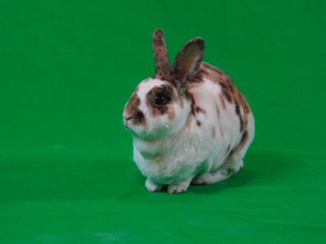 Green Screen Bunny 2 by TRANS4MATICA
