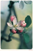 Blossom - 2 by anjali
