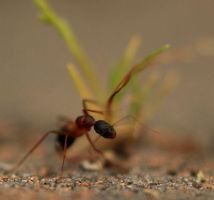 Not-So-Tiny Ant 3 by Coraloralyn