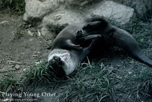 Young Otter by LaCiel