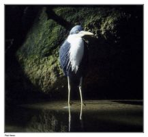 PIED HERON by AdamsWife