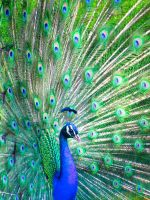 Peacock by Tricia-Danby