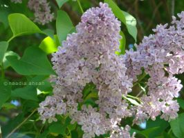 Lilacs II by Resensitized