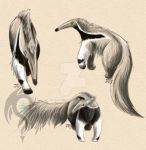 Anteater Studies by yamicool