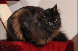 Norwegian Forest Cat7 by fiamen
