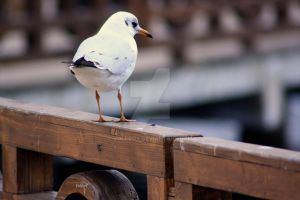 Thoughtful Gull by VoldroY