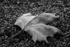 Autumn Leaf by swissnature