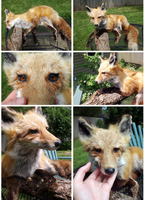 Red Fox Soft Mount - Sold by blondecoyote
