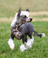 Chinese Crested by RebeccaNewton